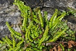 Maidenhair Spleenwort (Asplenium trichomanes ssp. quadrivalens)